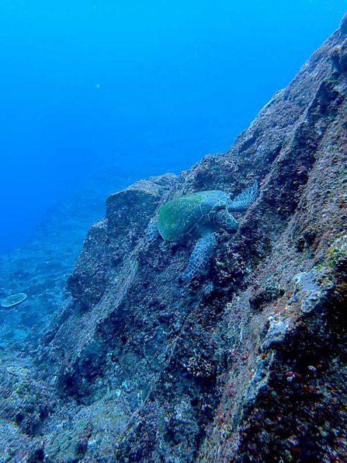 浅場でお食事中のアオウミガメ