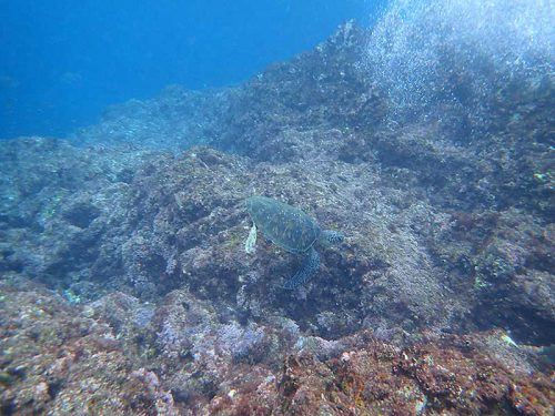 浅場で飯食うウミガメ横目に