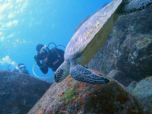 のんびり横切るアオウミガメ
