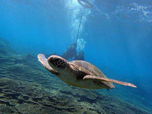 沖まで出ればウミガメ泳いでおりまして
