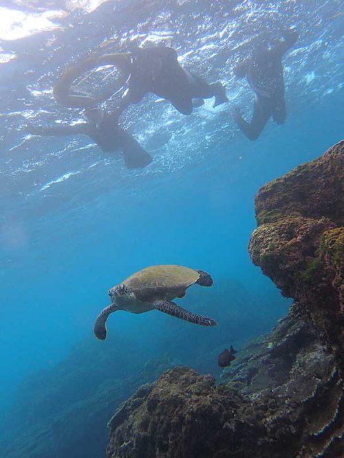 浅場にウミガメ泳いでいたり