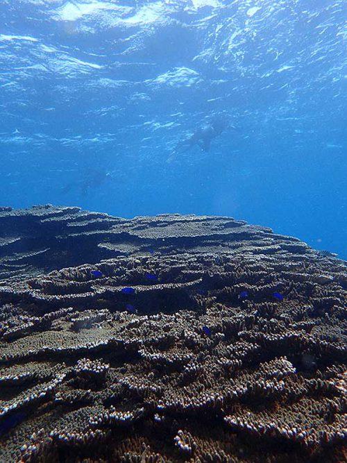 サンゴの間にソラスズメイダイ