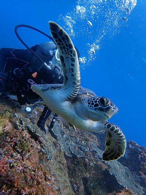 目の前泳ぐウミガメ見たり