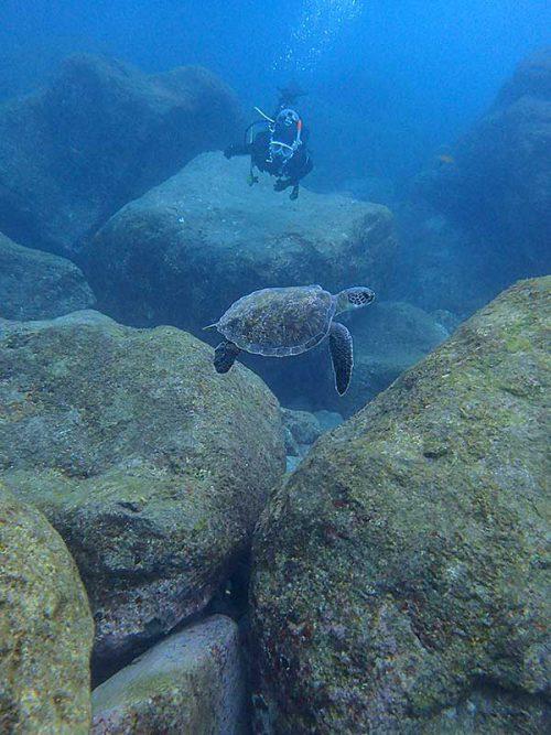 目の前横切るアオウミガメ