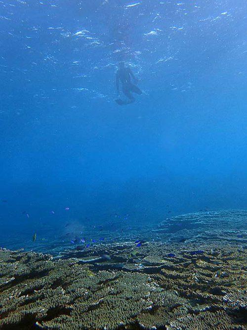 サンゴの上にはソラスズメダイ