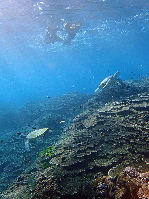 今日もウミガメたくさん見かけ