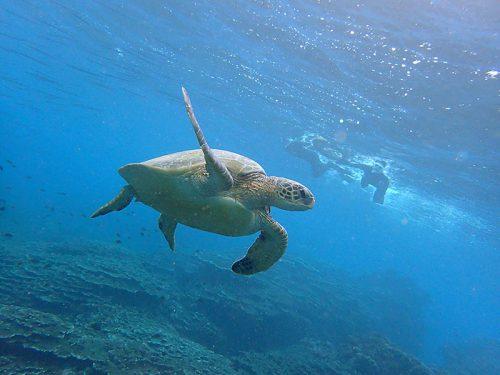 大きなウミガメものんびり泳いでおりまして
