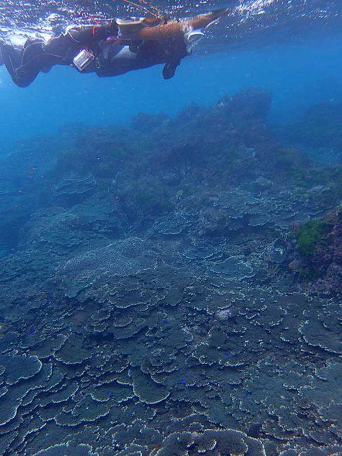 サンゴの上にはソラスズメダイおりまして