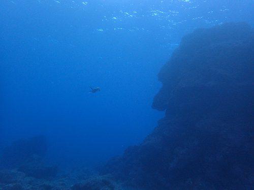 遠くを泳ぐアオウミガメ