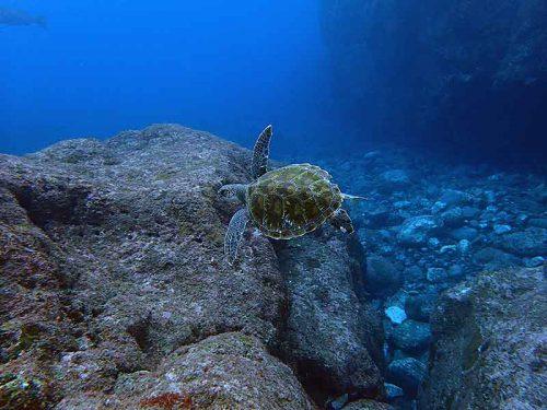 小ぶりなアオウミガメ