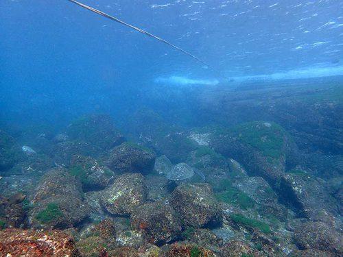 湾内でのんびりしてたアオウミガメ