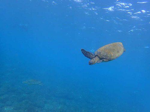 湾内にはウミガメたくさんおりまして