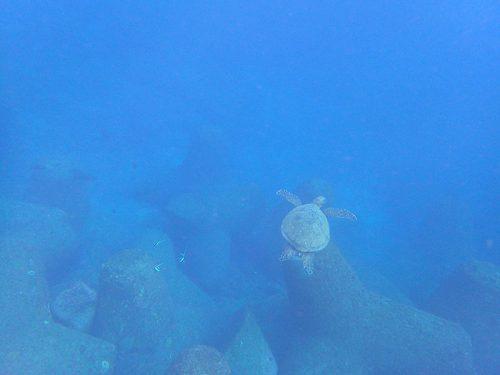 カメの横にはツノダシいたり