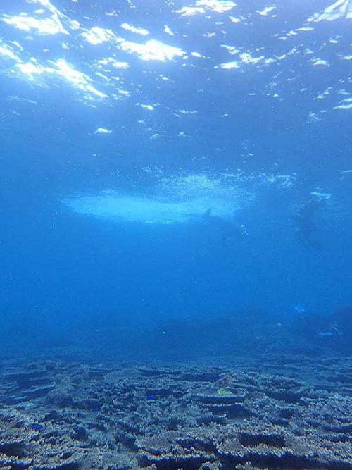 サンゴの上には青が綺麗なソラスズメイダイ