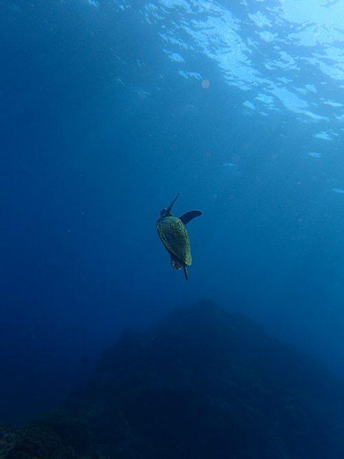 ウミガメたくさん泳いでいたり