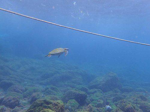 今日は湾内には小ぶりなウミガメ1匹だけで