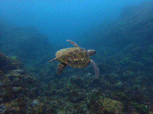 浅場で泳ぐちっこいウミガメ