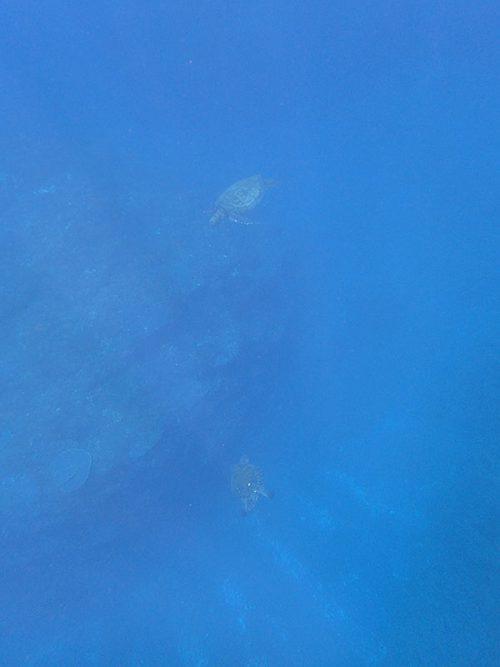沖にはウミガメたくさんいたり