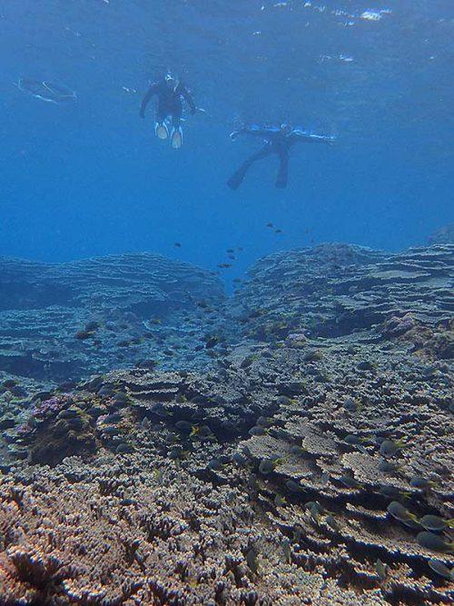 サンゴの上にはキホシスズメダイもたくさんいたり