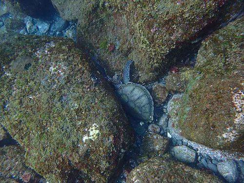 岩の隙間に小さいウミガメ