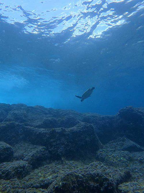 ちっこいアオウミガメ
