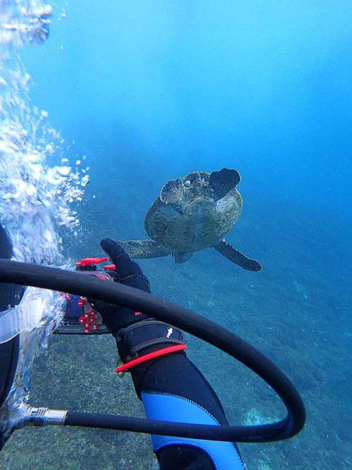 のんびり泳いでたアオウミガメ