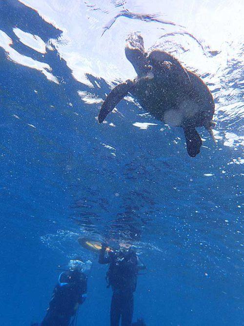 息継ぎしていたアオウミガメ