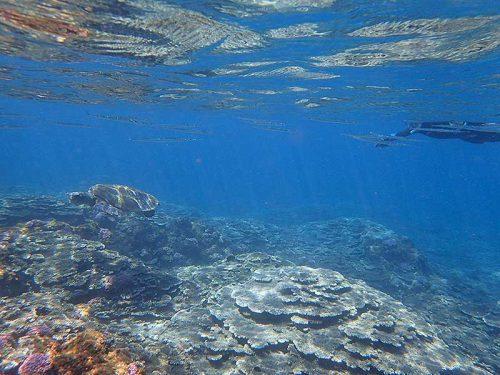 ダツの仲間とアオウミガメ