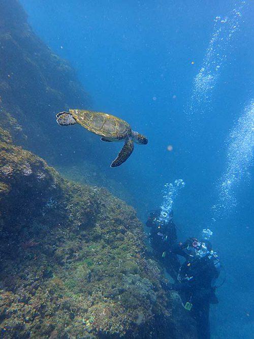 ちょっと泳げばちっこいウミガメおりまして