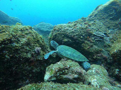 岩陰にアオウミガメ