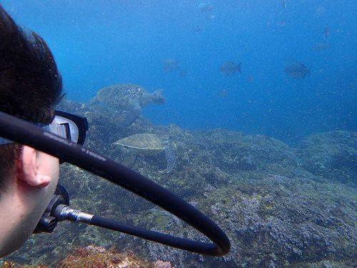 浅場にウミガメ集まってて