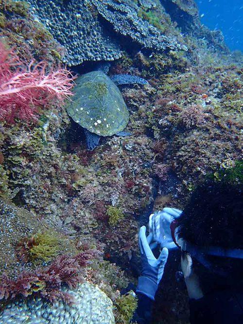 隙間にハマる小さいウミガメ