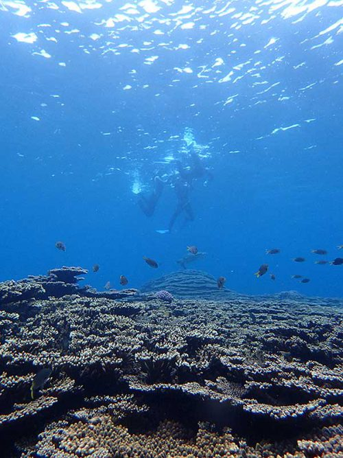 サンゴの上にはキホシスズメダイ