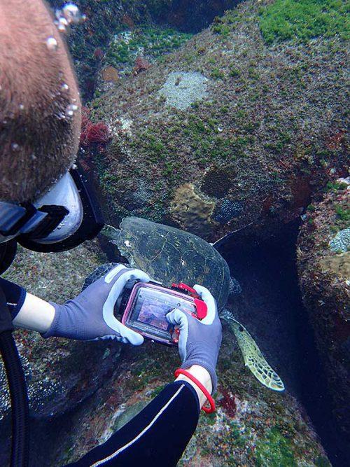テトラの隙間に頭つっこむアオウミガメ