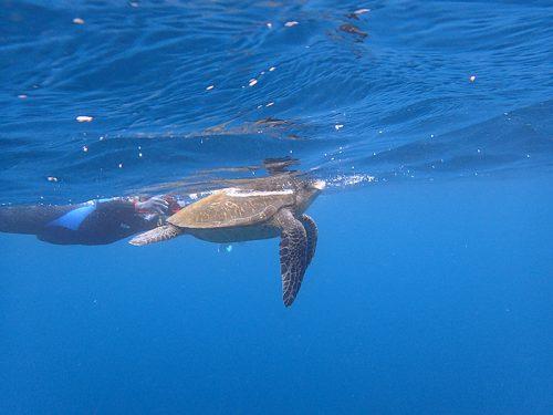 息継ぎしてたアオウミガメ