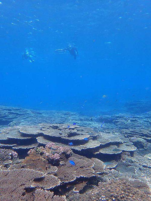 サンゴの上にはソラスズメイダイ