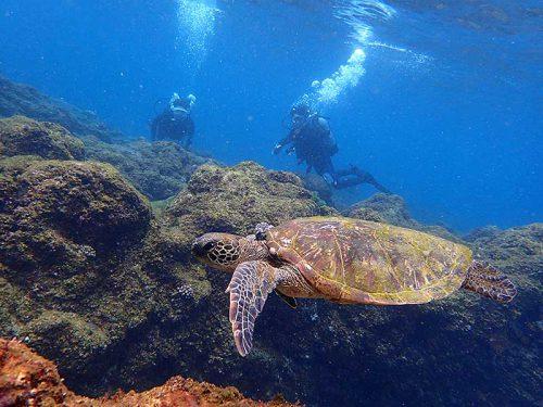 浅場で小さいウミガメ見かけ