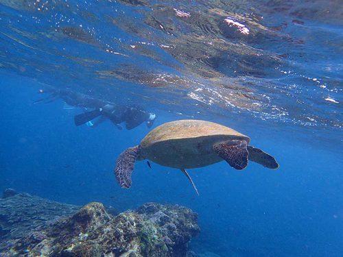 水面近くに上がってきてたアオウミガメ