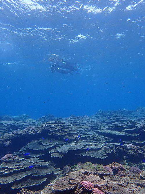 サンゴの上にはソラスズメダイもたくさんで