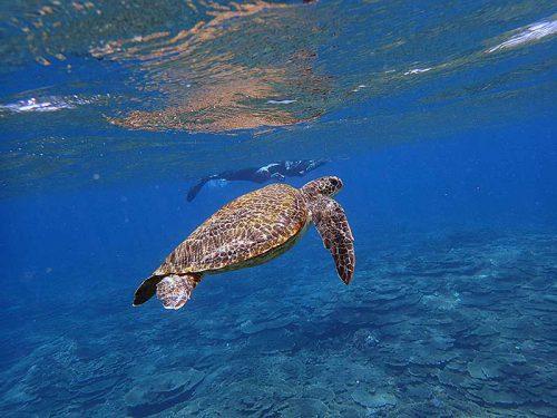 ゆっくり上がってきてたアオウミガメ