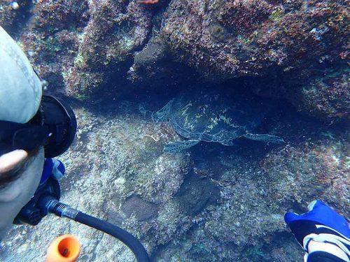 隙間に頭突っ込んでたアオウミガメ