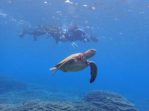 アオウミガメと一緒にシュノーケリング