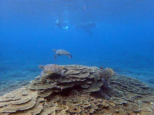 のんびり集まるアオウミガメ