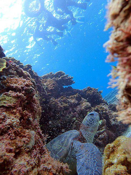 岩陰で休憩中のアオウミガメ