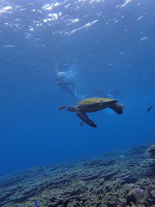 のんびりしてたアオウミガメ