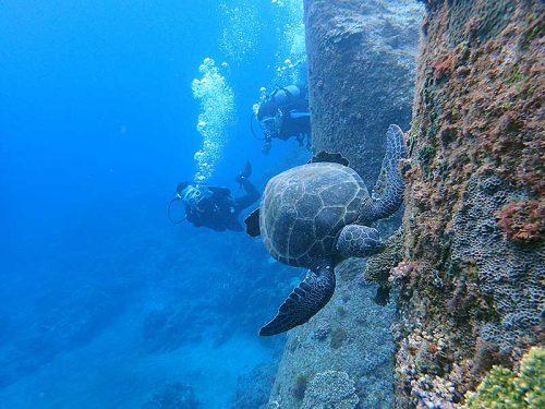 海草探すアオウミガメ