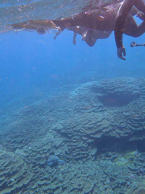 サンゴの間にアオウミガメ