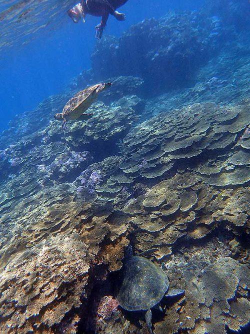 サンゴの隙間で休憩中のアオウミガメ