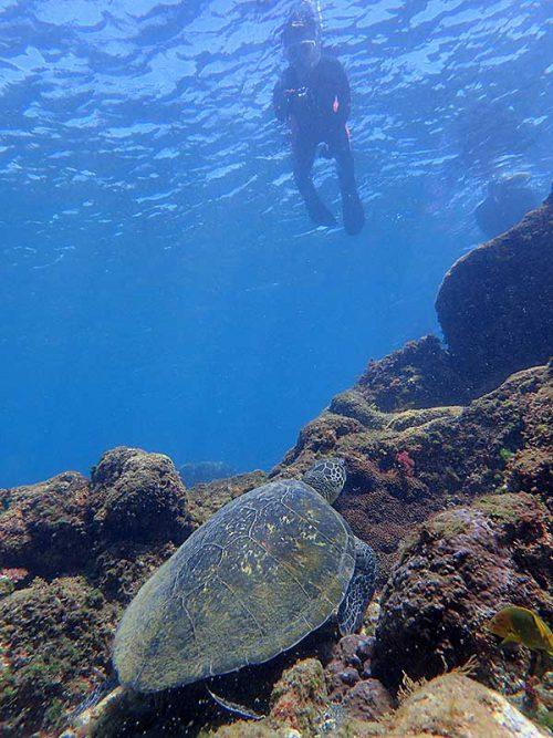 下で海草食べてたアオウミガメ