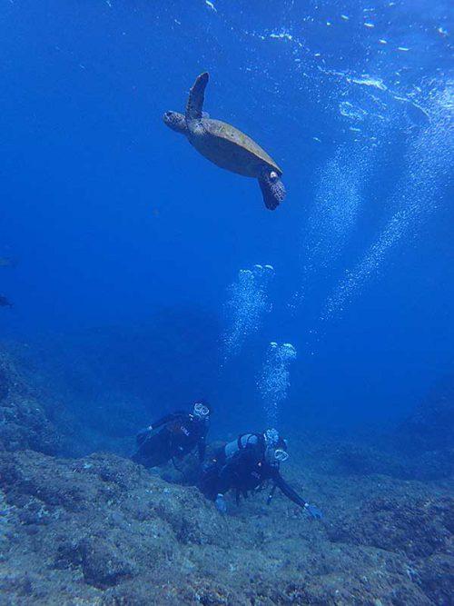 呼吸しに水面目指すアオウミガメ